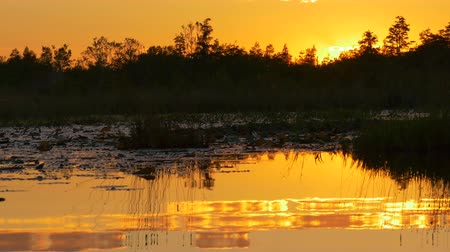 lilyum : Romantic wetlands swamp with water lilies and cypress swamp trees covered in amazing spanish moss at beautiful summer sunset. Gorgeous reflection of golden sky and mossy trees in glassy water Stok Video