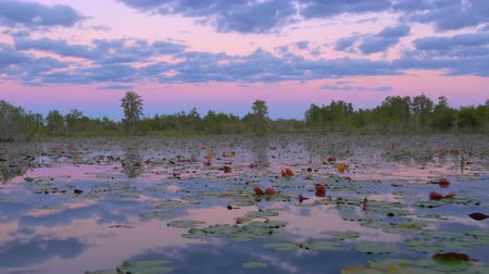 cypřiš : Romantic wetlands swamp with water lilies and cypress swamp trees covered in amazing spanish moss at pink sunrise in summer. Gorgeous sky reflection in calm glassy water surface.