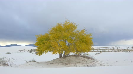 reserva : Beautiful autumn tree in famous White Sands desert in New Mexico. Dark cloudy sky in the background, storm coming Stock Footage