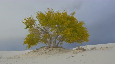 vaha : CLOSE UP: Beautiful colorful autumn tree with yellow leaves in amazing White Sands desert valley before rain. Amazing thunderstorm lightning bolt in the dark cloudy sky in the background