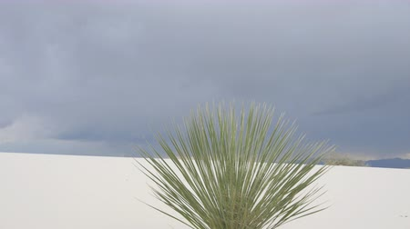 new mexico : CLOSE UP: Beautiful solitaire soaptree yucca bush in the middle of White Sands desert, dramatic storm sky in the background