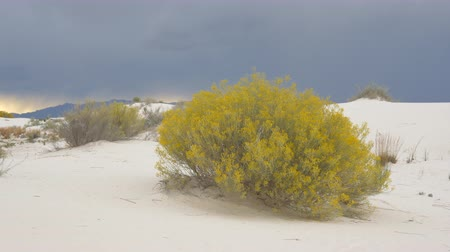 bushy : Beautiful autumn bush with yellow leaves in White Sands desert national monument, New Mexico