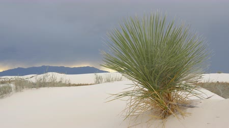 new mexico : CLOSE UP: Solitary soaptree yucca cactus swaying in wind before the storm in white sandy desert. Dramatic dark sky in background announcing coming storm in White Sands national monument, New Mexico Stock Footage