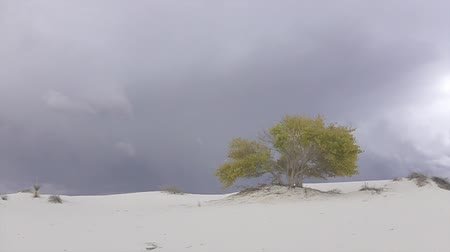 dune : CLOSE UP: Beautiful colorful autumn tree with yellow leaves in amazing White Sands desert valley before rain. Amazing thunderstorm lightning bolt in the dark cloudy sky in the background