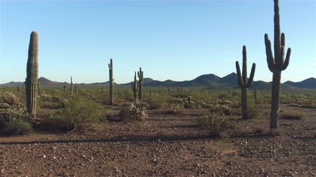 dikenli : AERIAL: Amazing huge cactuses growing in vast rocky desert landscape in sunny Arizona valley Stok Video
