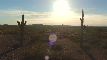 dikenli : AERIAL: Flying past big amazing cactuses in vast desert valley in western America. Sunset sun shining through the cactuses
