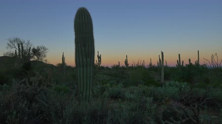 kaktus : CLOSE UP: Cactus silhouette against colorful sky before the sunrise in beautiful Arizona desert valley