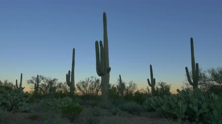dikenli : CLOSE UP: Cactus silhouette against colorful sky before the sunrise in beautiful Arizona desert valley