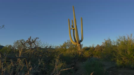 dikenli : Huge Saguaro Cactus in Arizona desert on sunny summer morning Stok Video
