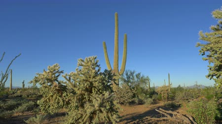 pichlavý : SLOW MOTION CLOSE UP: Beautiful cholla and saguaro cactuses in vast Arizona desert