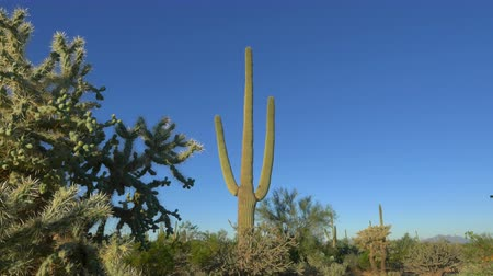 dikenli : CLOSE UP: Beautiful big thorny cactuses growing in vast rocky Arizona desert on a sunny summer day