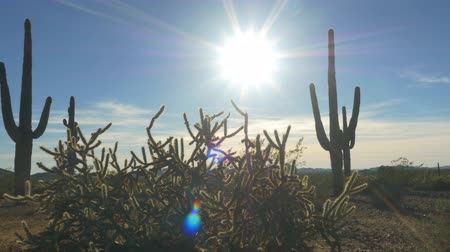 dikenli : SLOW MOTION CLOSE UP: Evening sunbeams shining through big cactus pricks in desert wilderness Stok Video