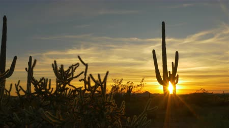 dikenli : SLOW MOTION CLOSE UP: Golden evening sun shining through wild cactuses in desert wilderness