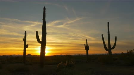 dikenli : SLOW MOTION CLOSE UP: Golden sun setting behind large cactus silhouette in western America