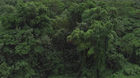 primeval : AERIAL CLOSE UP: Flying right above beautiful impassable overgrown primeval forest. Beautiful detailed view of amazing tropical jungle treetops, lush canopies in dense deciduous and acacia rainforest Stock Footage
