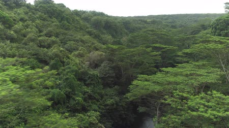AERIAL CLOSE UP: Flying between magnificent jungle treetops and lush canopies above clear green river in thick deciduous rainforest. Amazing overgrown primeval forest in tropical island Kawai, Hawaii Wideo