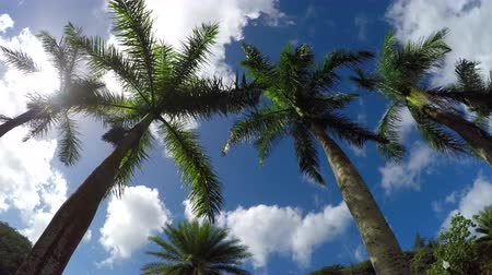 bulutluluk : SLOW MOTION CLOSE UP: View from the bottom up of beautiful lush green palm canopies dancing in summer breeze and white puffy clouds in the blue sunny skies.