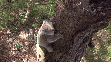 brown bark : CLOSE UP: Cute fluffy adult koala descending from a big old eucalyptus tree to the ground. Adorable koala walking on a small branch in the beautiful Australian forest, exploring the woods
