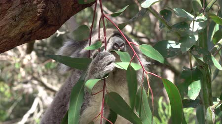 šplhání : CLOSE UP: Adorable fuzzy adult koala eating and chewing her juicy eucalyptus leaf in the shade of lush green canopy high above the ground
