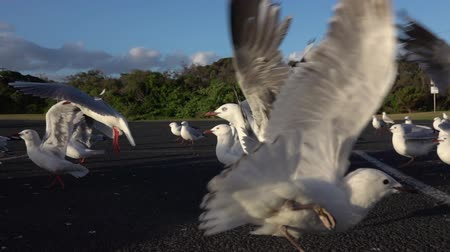 aves marinhas : SLOW MOTION CLOSE UP: Approaching a big group of cute, curious seagulls on a local parking lot on beautiful summer day. Scared birds ascending and trying to fly and get away from the danger