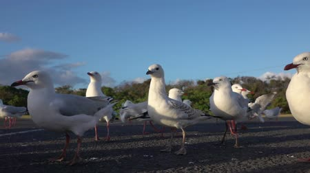 aves marinhas : SLOW MOTION CLOSE UP: A small group of cute, curious seagulls standing on empty parking lot, looking around and observing the surroundings. Big birds running and waving with their wings Vídeos