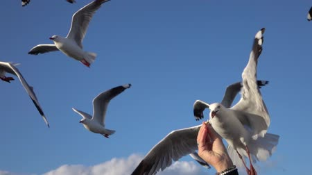 морских птиц : SLOW MOTION CLOSE UP: Cute, brave seagull flying towards a young girls hand and grabbing a piece of bread from her. Fearless bird catching a piece of food in the air while flying Стоковые видеозаписи