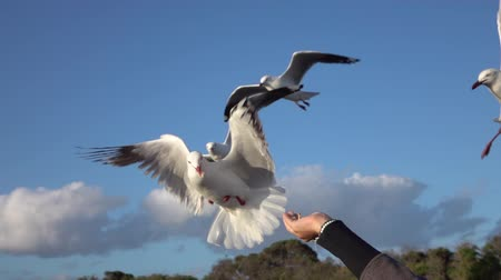 aves marinhas : SLOW MOTION CLOSE UP: Cute, brave seagull flying towards a young girls hand and grabbing a piece of bread from her. Fearless bird catching a piece of food in the air while flying Vídeos