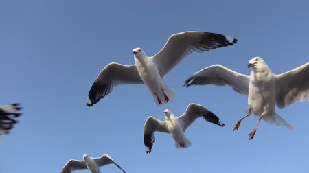 морских птиц : CLOSE UP: Group of talented, clever, ingenious seagulls flying over traveling tourists and catching pieces of food they are throwing. People feeding cute birds, throwing them food in the air
