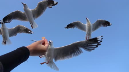 aves marinhas : SLOW MOTION CLOSE UP: Cute, brave seagull descending towards a young girls hand and grabbing a piece of bread. Fearless bird catching a piece of food in the air while flying on a sunny day