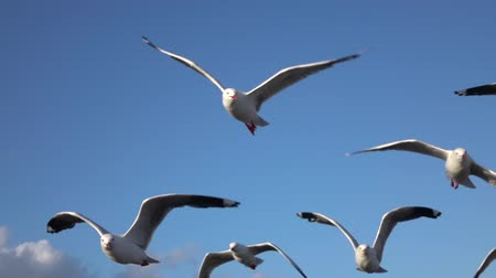 aves marinhas : SLOW MOTION CLOSE UP: View of a group of big beautiful cute seagulls flying in the blue skies observing the surroundings. Amazing strong birds with big wings flying in the air on beautiful summer day