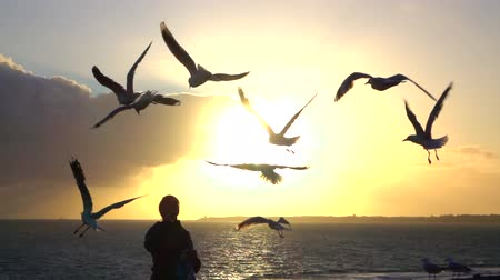 sea piece : SLOW MOTION: Fearless cute hungry seagulls flying above woman head and catching food in the air. Young female feeding big hungry birds on beautiful summer evening at magical sunset by seashore Stock Footage