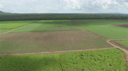 colhida : AERIAL: Flying above and away from rows of young small sugarcane on big agricultural field surrounded by lush woods. Straight plain agricultural field with narrow roads and lush forest in background Stock Footage