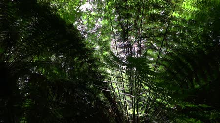 невозделанный : SLOW MOTION CLOSE UP MACRO: Big tall old lush fern growing in overgrown lush wild jungle. Sun shining through dense green weeds. Large ancient fairytale fern growing in primeval untouched rainforest