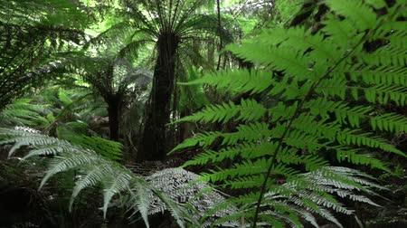 primeval : SLOW MOTION CLOSE UP, DOF: Big old lush fern growing in overgrown lush wild jungle. Sun shining through dense green weeds. Large ancient fairytale fern growing in primeval untouched rainforest Stock Footage