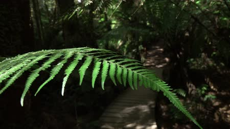 zarostlý : SLOW MOTION CLOSE UP, MACRO, MOVING ASIDE: Prehistoric lush green fern steam and its green leaves moving in air. Touristic wooden bridge route leading through overgrown primeval forest on sunny day