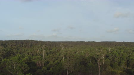 невозделанный : AERIAL: Flying above amazing vast eucalyptus jungle forest in sunny Australian landscape. Small bovine cattle grazing on the edge of beautiful lush green overgrown untouched primeval forest