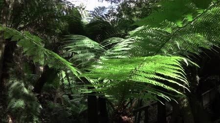 ot : SLOW MOTION CLOSE UP, MOVING DOWN: Beautiful lush green fern canopy growing in exotic overgrown rainforest by wooden bridge. Sun shining through dense treetops in deciduous primeval jungle forest Stok Video