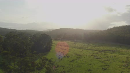 eukaliptus : AERIAL, MOVING FORWARD: Flying above amazing eucalyptus jungle forest in sunny Australian landscape. Small bovine cattle grazing on beautiful meadow on the edge of lush green untouched forest Wideo