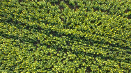 rapa : AERIAL, CLOSE UP, DISTANCING: Flying close above beautiful plant rows on farm field under cultivation. Young yellow oilseed rape in flower on biological agricultural countryside land on sunny spring