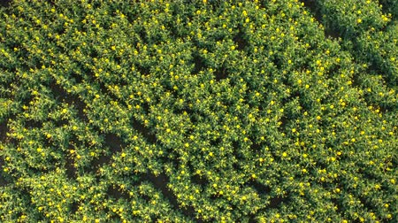 oleaginosa : AERIAL, CLOSE UP, DISTANCING: Flying close above beautiful plant rows on farm field under cultivation. Young yellow oilseed rape in flower on biological agricultural countryside land on sunny spring