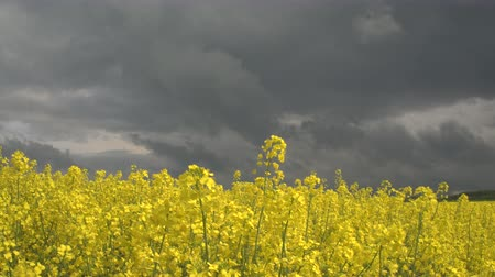 rapa : CLOSE UP: Beautiful yellow oilseed rape blooming on agricultural field, dramatic stormy clouds in the background. Brassica rapa swaying in the wind before the rain. Stock Footage