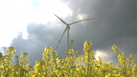 rapa : CLOSE UP, LOW ANGLE VIEW: Beautiful lush yellow turnip blooming on vast agricultural field. Big white modern windmill turbine rotating, converting wind power into energy and generating electricity