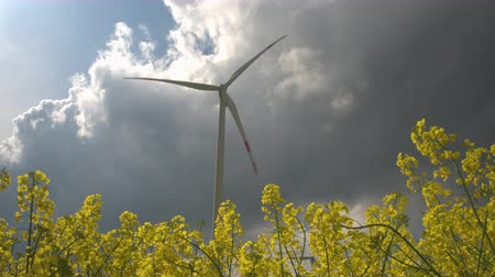 sustainable resources : CLOSE UP, LOW ANGLE VIEW: Beautiful lush yellow turnip blooming on vast agricultural field. Big white modern windmill turbine rotating, converting wind power into energy and generating electricity