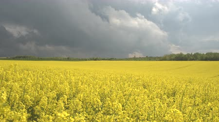 rapa : CLOSE UP: Beautiful yellow oilseed rape blooming on agricultural field, dramatic stormy clouds in the background. Stunning lush brassica rapa flowers on field, swaying in the wind before the rain Stock Footage