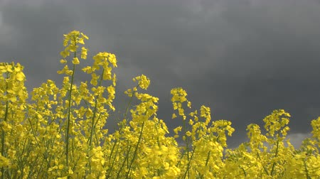 rapa : CLOSE UP, LOW ANGLE VIEW: Beautiful yellow oilseed rape blooming on agricultural field, dramatic heavy stormy clouds in the background. Brassica rapa swaying in the wind before the storm and rain.