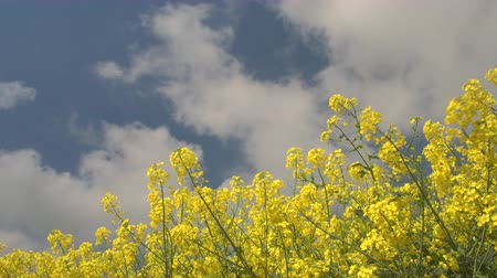 rapa : CLOSE UP, LOW ANGLE VIEW: Beautiful yellow oilseed rape blooming on agricultural field on sunny spring day. Stunning lush colorful brassica rapa flowers blossoming on field and swaying in the wind
