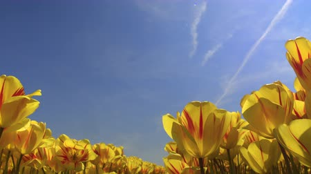 青々とした : CLOSE UP, LOW ANGLE VIEW: Vast field of stunning yellow tulips blooming under blue cloudless sky in local touristic park on beautiful sunny spring day. Pretty colorful flowers at Lisse, Netherlands