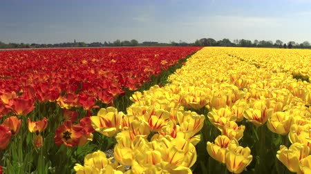 stalk : CLOSE UP: Big vast field of stunning blooming tulips dancing in soft summer breeze in local Dutch park. Beautiful flowers swinging and swaying in the wind on sunny day at touristic spot at Netherlands Stock Footage