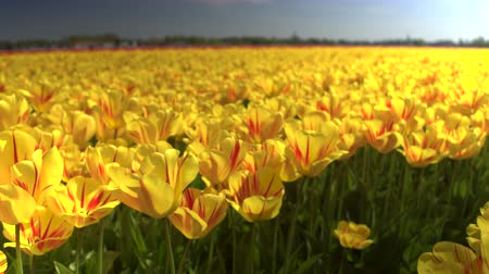 porzó : CLOSE UP, DOF: Endless field of stunning blooming red and yellow tulips swinging in the wind. Beautiful red tulip blossoms dancing and swaying in soft summer breeze on warm sunny spring day at Lisse Stock mozgókép