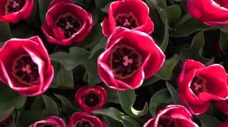 open blossom : CLOSE UP, SLOW MOTION: Birds eye view of lovely rosy pink tulip bulbs blooming on floral field at popular touristic spot Lisse, Netherlands. Stunning tulip flowers growing in touristic floriculture centre Stock Footage